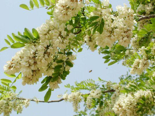 Hoa hòe trong trà thảo mộc