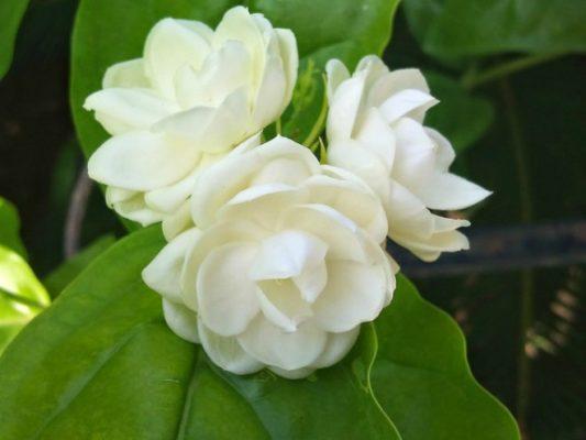 Hoa nhài trà thảo mộc