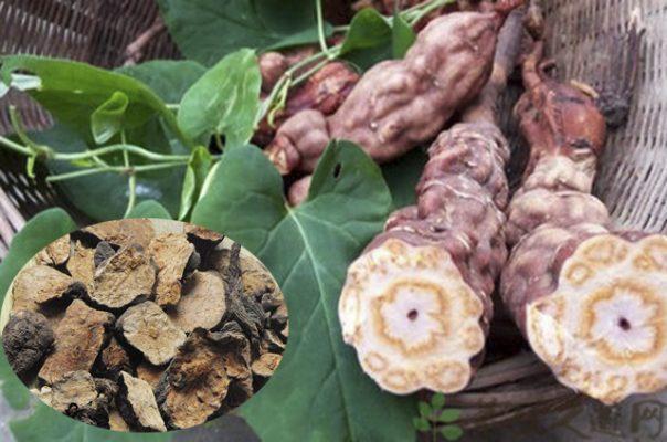cây củ hà thủ ô Tam Đảo Vĩnh Phúc