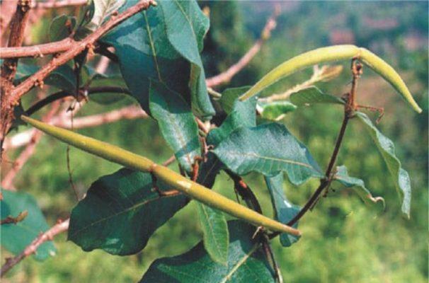 cây lá Hà thủ ô